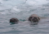 Walrus female and pup OZ9W0481