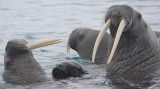 Walrus females and pup OZ9W0484