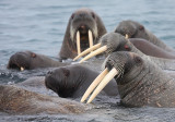 Walrus females and pup OZ9W0578