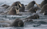 Walrus females and pups OZ9W0592