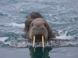 Walrus female and pup OZ9W0638a