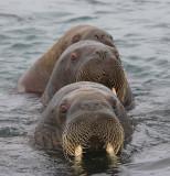 Walrus females in water