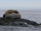 Walrus female and her pup OZ9W5775