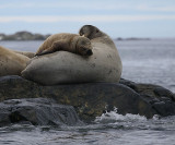 Walrus female and her pup Svalbard