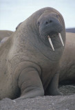 walrus female 1