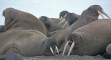 Walrus haulout immatures 1