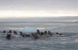 Walrus group in water OZ9W0431