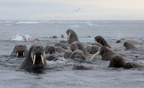 Walrus group in water OZ9W0445