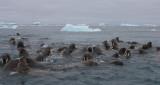 Walrus group in water OZ9W0452