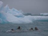Walrus group near ice OZ9W7268