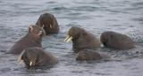 Walrus group in water OZ9W8815