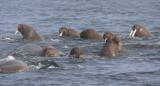 Walrus group in water OZ9W8836