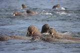 Walrus group in water OZ9W8839