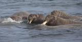Walrus group in water OZ9W8840