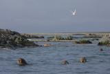 Walrus group in water OZ9W8841