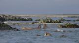 Walrus group in water OZ9W8842