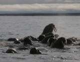 Walrus group in water Svalbard