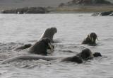 Walrus group in water OZ9W8852