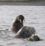 Walrus immatures OZ9W8855
