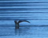 Bowhead Whale 08082000 Olgastretet Svalbard 4