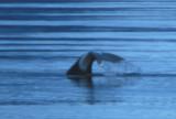 Bowhead Whale 08082000 Olgastretet Svalbard 7