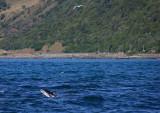Kaikoura shoreline with Dusky dolphin OZ9W8190