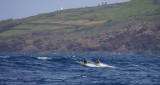 Risso's Dolphin adults surfing at Pico OZ9W9508