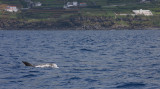 Risso's Dolphin adult at Pico, Azores OZ9W9531