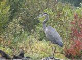 IMG_1696 Great blue heron.jpg
