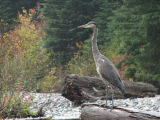 IMG_1695 Great blue heron.jpg