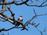 IMG_2898 Lewis's woodpecker