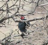 IMG_2899 Lewis's woodpecker