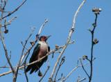 IMG_2903 Lewis's woodpecker