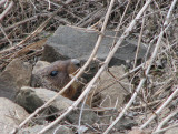 IMG_2982 Yellow-bellied marmots.jpg