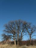 IMG_2745 winter oak trees.jpg