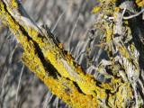 IMG_2762 lichens of sagebrush.jpg