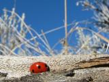 IMG_2764 lady beetle.jpg
