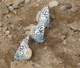 IMG_3329 Square-spotted blue.jpg