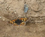 IMG_3331 Checkerspot and square-spotted blue.jpg