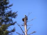 Osprey nest_Indian Cr.JPG