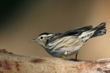 Black & White Warbler Mniotilta Varia