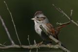 Swamp sparrow Melospiza Georgiana
