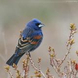 Blue Grosbeak Guiraca Caerulea
