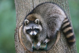 Common Raccoon Procyon lotor