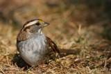 White Throated Sparrow Zonotrichia albicollis