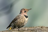 Northern Flicker Colaptes auratus (Yellow-Shafted)