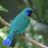 Blue-masked Leafbird Chloropsis venusta