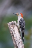 Red Bellied Woodpecker Melanerpes Carolinus