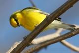 Blue Winged Warbler Vermivora Pinus