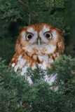 Eastern Screech-Owl Otus Asio